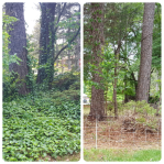 Before and after English ivy removal.